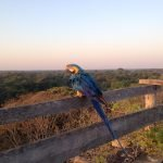 Yellow-blue-macaw