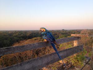 Yellow-blue-macaw