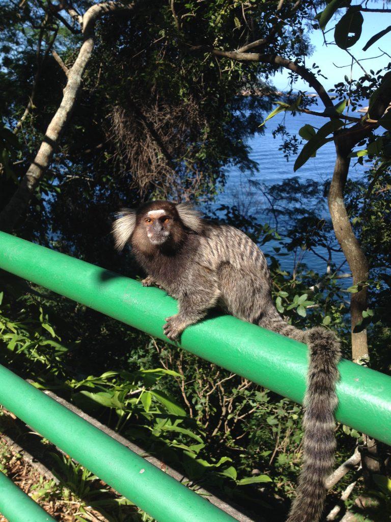 Monkey, Rio de Janeiro