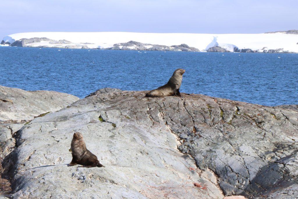 Sea lion in Antarctica
