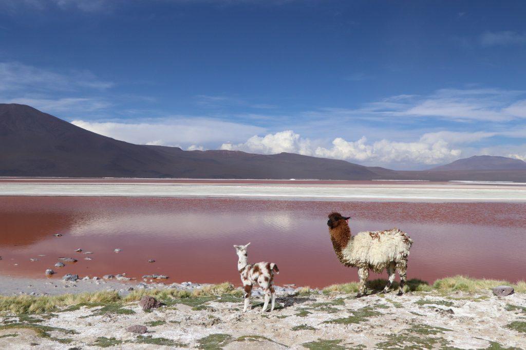 Lamas Bolivia