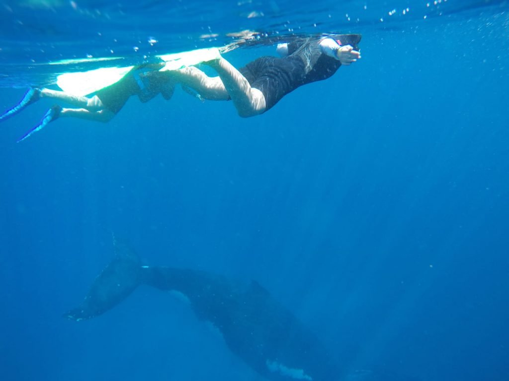 swimming with humpback whale