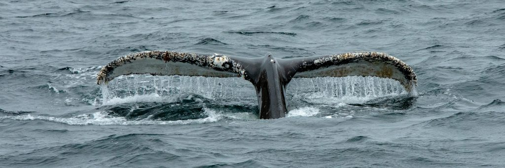 humback whale antarctica